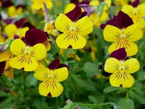 Yellow pansies for 1st year anniversary