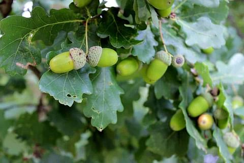 Facts about Oak leaves and acorns